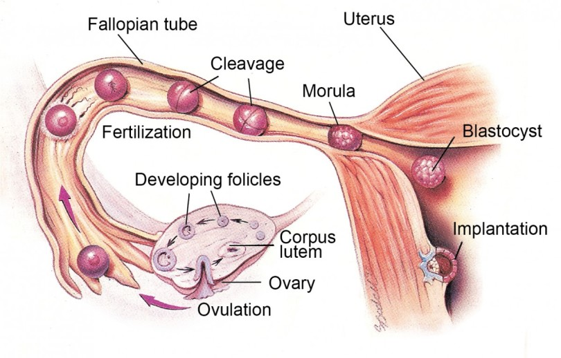 Basic-principles-of-ovulation