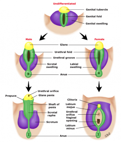 Development of the Genitalia